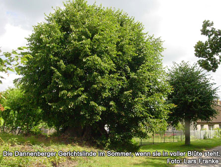 Die Dannenberger Gerichtlinde im Sommer, wenn sie in voller Blüte steht.